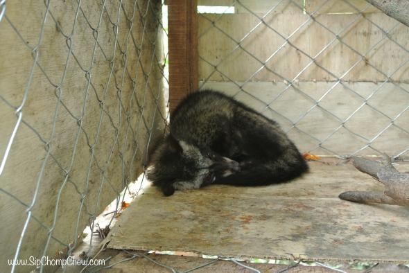 SCC Civet Cat 1 Bali 2014