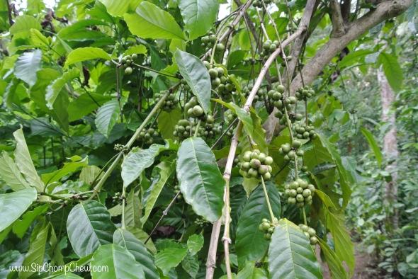SCC Coffee Berries Bali 2014