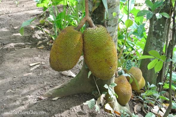 SCC Jack Fruit Bali 2014